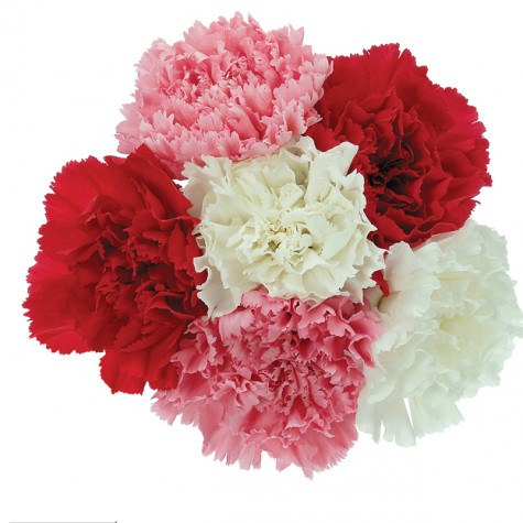 flowers_carnation-10365
